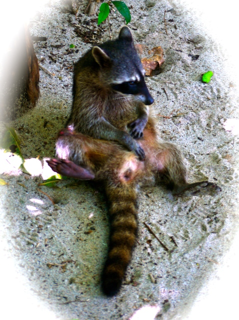 racoon getting frisky